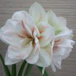 白い花のアマリリスの品種一覧について