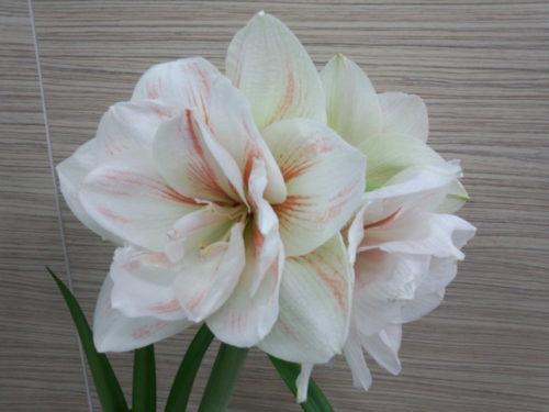 アマリリス 白 品種 八重咲き