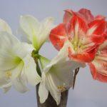 アマリリス茎や葉の切り方