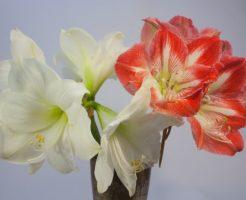 アマリリス 茎 葉 切る