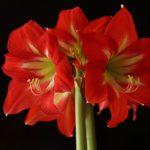 アマリリスの花の開花の季節はいつ!?
