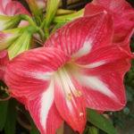 アマリリス葉が枯れる原因や対策について