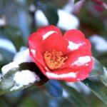サザンカの花が咲かない原因と対策法について