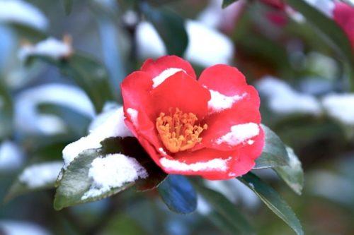 山茶花 花 咲かない