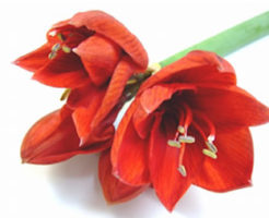 アマリリス 八重咲き 育て方