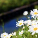 マーガレットの花の香りはどんな香り?