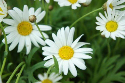 マーガレット 育て方 枯れた花