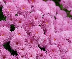 菊 冬至芽 管理