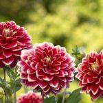 愛知県の菊の生産量と出荷量はどれくらい!?