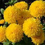 菊の盆栽の育て方やお手入れに方法について
