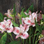 アルストロメリアの花言葉色によって意味が違う?色別にみてみよう