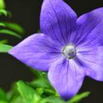 キキョウの切り花や花束の平均値段はいくら?