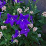 キキョウの花が枯れる原因や対策方法について