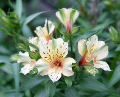 アルストロメリア 白 花束