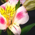 アルストロメリアの英語の花言葉の意味と由来とは?