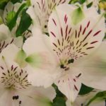 アルストロメリアの苗を植えるのに最適な時期は?