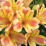 アルストロメリアの切り花を長持ちさせる方法やコツは?