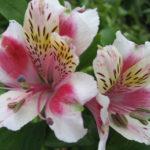 アルストロメリアの切り花ならどの品種がおすすめ?