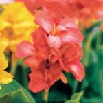 オレンジ色の花を咲かすカンナの種類とは?特徴は?