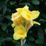 カンナの花の冬場の手入れ方法とは?水やりの頻度は?