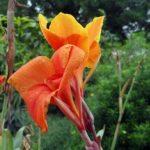 オレンジ色のカンナの花言葉の意味や由来は?