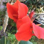 カンナの花の英語の名前や意味、発音、スペル(つづり)は?