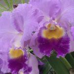 カトレアと胡蝶蘭の違いや見分け方とは?