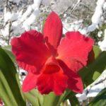 カトレアはいつの誕生日が誕生花?誕生花としての花言葉は?