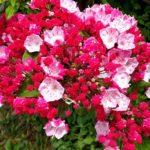 ピンク色のカルミアの品種とは?どんな種類がある?