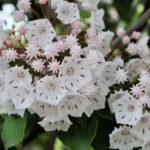 カルミアの鉢植えでの育て方や手入れ方法とは?