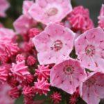 ピンク色のカルミアの花言葉の意味や由来とは?
