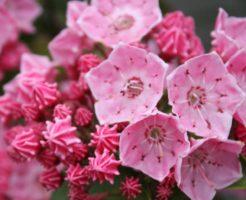 カルミア ピンク 花言葉