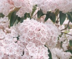 カルミア 花 育て方
