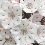 白色のカルミアの花言葉の意味や由来とは?