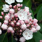 カルミアの花を挿し木で増やす方法や失敗しないコツとは?