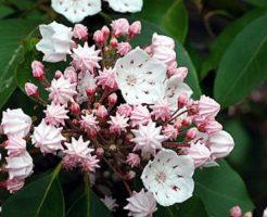 カルミア 花 挿し木
