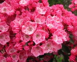 花 カルミア 花言葉