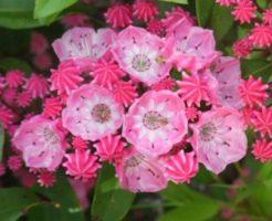 カルミア 花 色