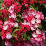 カルミア・サラーは何色の花?特徴は?