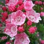 カルミア・オスボレッドは何色の花?特徴は?