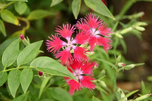 カワラナデシコ 花言葉