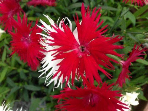 カワラナデシコ 花 色