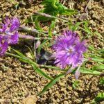 カワラナデシコの開花時期はいつごろ?見頃の季節とは?