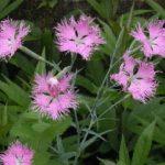 カワラナデシコの種まき方法や種の育て方のコツとは?