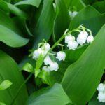 日本原産のすずらんの花の特徴とは!?