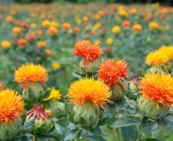 紅花 種 採取