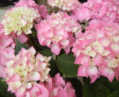 紫陽花 日本 固有種
