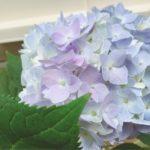 四季咲きアジサイの挿し木や剪定方法について