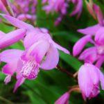 紫蘭の花言葉や由来について