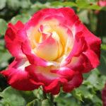 バラの元肥のやり方や時期について